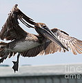 Brown Pelican Landing by Carol Groenen