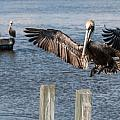 Brown Pelican Touchdown by Patti Deters