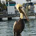 Brown Pelican by Lingfai Leung