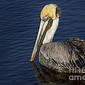 Brown  Pelican by Maria  Struss