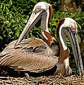 Brown Pelican by Millard H. Sharp