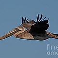 Brown Pelican Pelecanus Occidentals  Photo By Pat Hathaway 2007 by California Views Archives Mr Pat Hathaway Archives