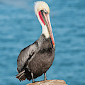 Brown Pelican Pelecanus Occidentalis by Josh Miller Photography