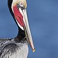 Brown Pelican Portrait by Bryan Keil