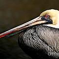 Brown Pelican Portrait by Joan McCool