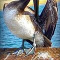 Brown Pelican Preen  by Susan Garren