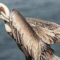 Brown Pelican Preening 1 by Lee Kirchhevel