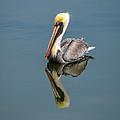 Brown Pelican Reflection by Debra Martz