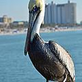 Brown Pelican by Robert Meanor