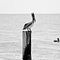 Brown Pelican - Bw by Scott Pellegrin