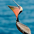 Brown Pelican Showing Pouch by Anthony Mercieca
