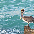 Brown Pelican South Jetty Venice Florida by Anne Kitzman