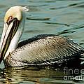 Brown Pelican Swimming by Millard H. Sharp