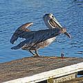 Brown Pelican Takes Flight by Tom Janca