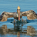 Brown Pelican Taking Off by Anthony Mercieca