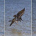 Brown Pelican - Triptych by Kim Hojnacki