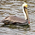 Brown Pelican1 by Michael Anthony