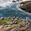 Brown Pelicans And Gulls On The Reef by Kathleen Bishop