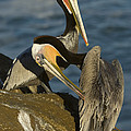 Brown Pelicans by John Shaw