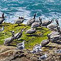Brown Pelicans by Kathleen Bishop