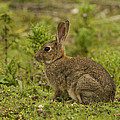 Brown Rabbit by Paul Scoullar