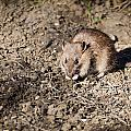 Brown Rat by David Head