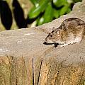 Brown Rat On Log by David Head