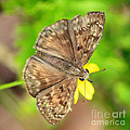 Brown Skipper Butterfly Square by Carol Groenen