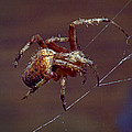 Brown Spider by Murray Bloom