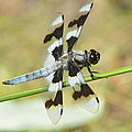 Brown Striped Double Winged Dragonfly by Nicki Bennett