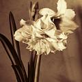 Brown Study Of Amaryllis by Brenda Kean