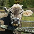 Brown Swiss Cow by John Greim