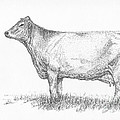 Brown Swiss Dairy Cow by J E Vincent
