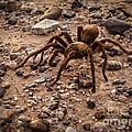 Brown Tarantula by Robert Bales