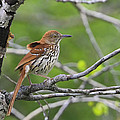 Brown Thrasher by Gary Hall
