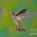 Brown Violet-ear Hummingbird by Anthony Mercieca