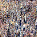 Brown Winter Forest With Bare Trees by Elena Elisseeva