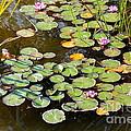 Bruges Lily Pond by Carol Groenen