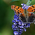 Brushfoot Satyr Comma by Marcia Colelli