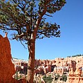 Bryce Canyon Pine by Christiane Schulze Art And Photography