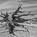 Bryce Canyon Tree Art by John Haldane