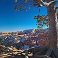 Bryce Pine by Tayne Hunsaker