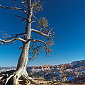 Bryce Tree by Tayne Hunsaker
