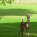 Buck And Doe by Aimee L Maher ALM GALLERY