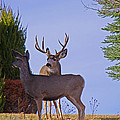 Buck And Doe In Yard by Mike and Sharon Mathews