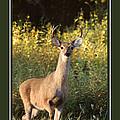 Buck At Sunrise Deer Christmas Cards by Jai Johnson