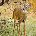 Buck In The Brush by Peg Runyan