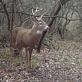 Buck In The Woods by Janet Mcconnell