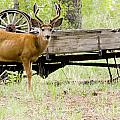 Buck Wagon by Steve Krull