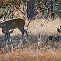 Buck With Does by Jim Thompson